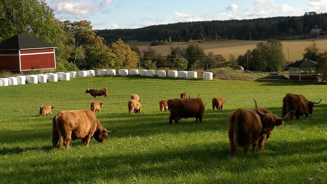 Ylämaankarja laiduntaa Leipyölin tilan pelloilla. Myymme naudanlihaa suoraan tilalta