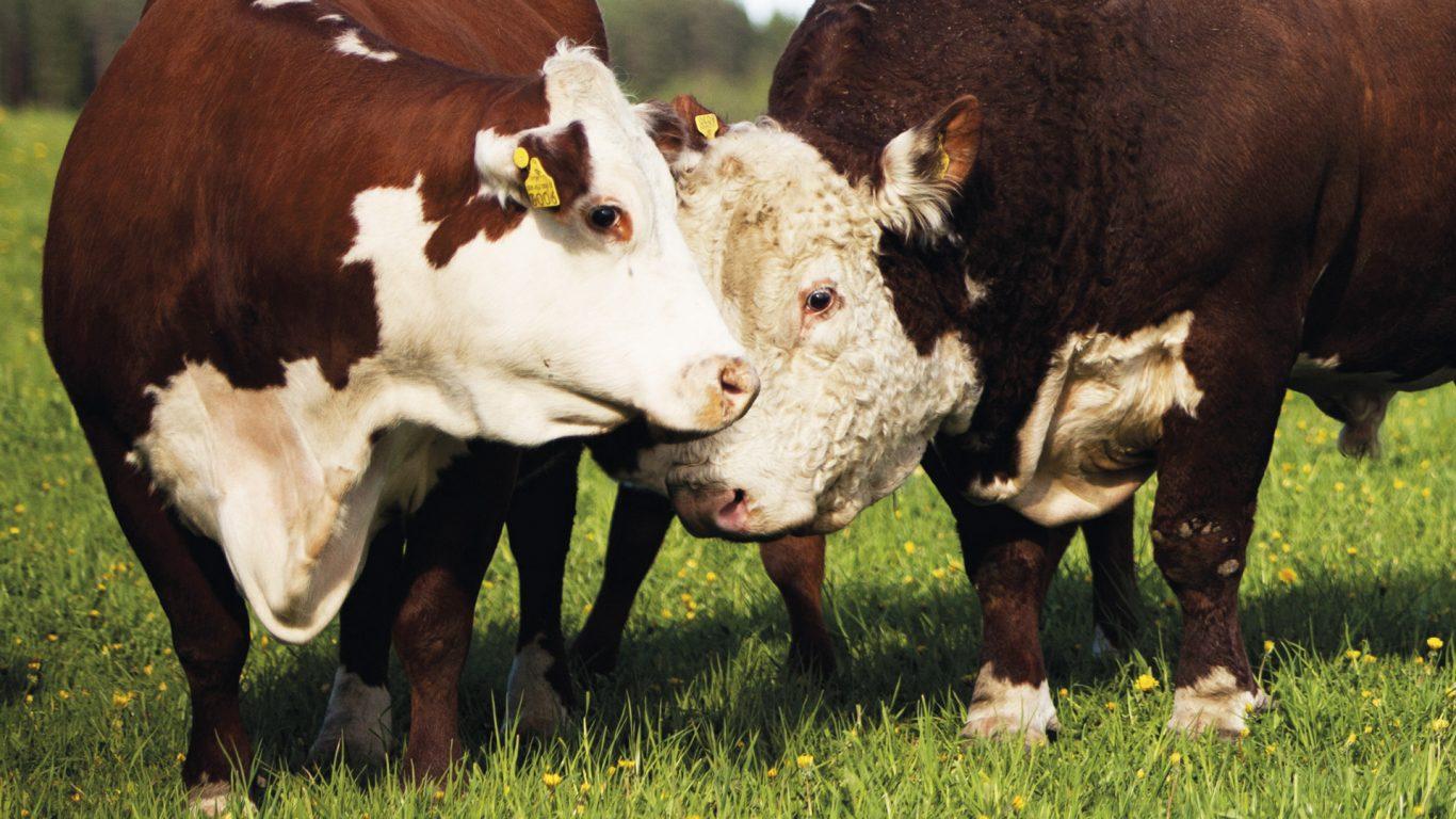 Kosken kartanon lehmät