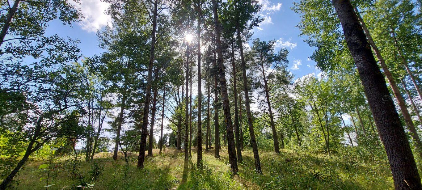 Kaunis puumaisema Rikalanmäen muinaispolulla