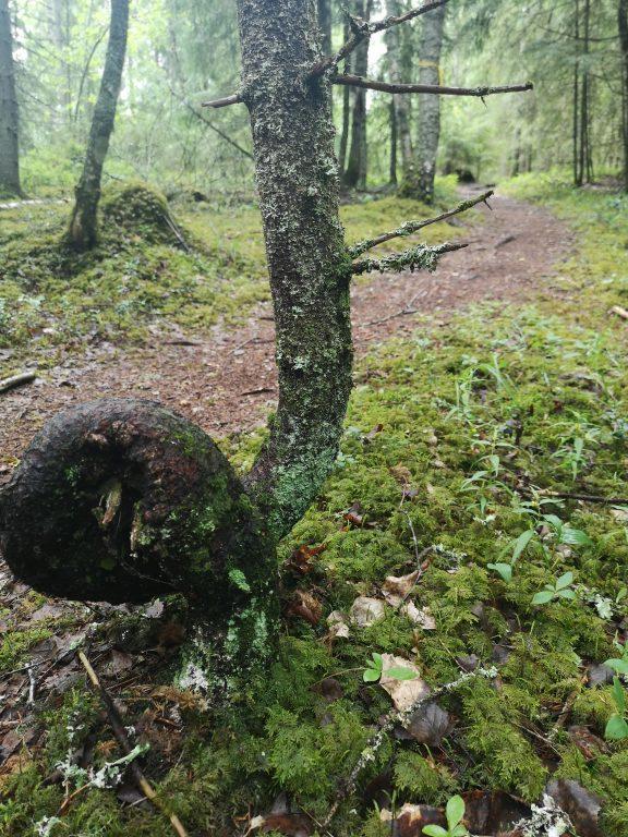 Hyyppärän taianomainen puu